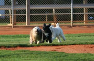 Dogs running at the Holmes Beach dog park