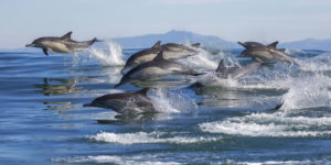 dolphins in anna maria island