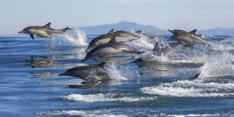 a school of dolphins in the water