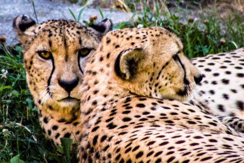 cheetahs laying on each other